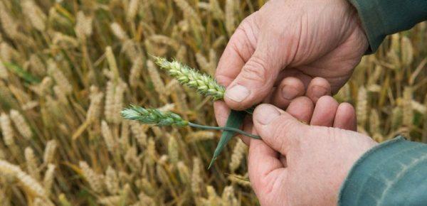 GrainHarvest_1500-56a6de8f5f9b58b7d0e531e2
